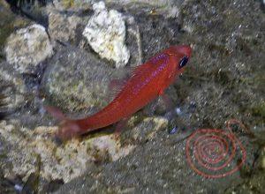 Cardinal Fish, Apogon-Imberbis