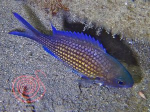 Damselfish, Chromis-Chromis