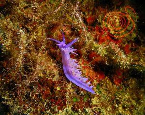Nudibranch, Flabelina Affinis