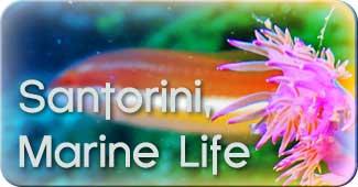 Santorini_marine_life