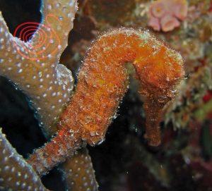 Seahorse, Hippocampus