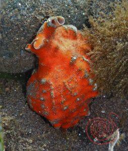 Sea-Snail, Pleuroploca trapezium