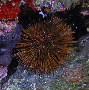 Sea-Urchin, Psammechinus microtuberculatus