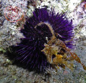 Sea-Urchin, Paracentrotus-Lividus