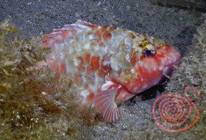 Parrotfish, Sparisoma-Cretense