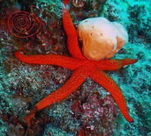 Star Fish, Echinaster_Sepositus