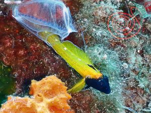 Yellow Black-faced blenny, Tripterygion Delaisi male